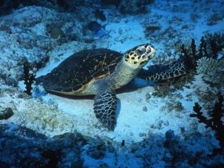 Hawksbill turtle-Maldives