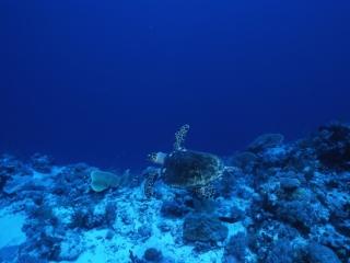 Hawksbill turtle-Palau