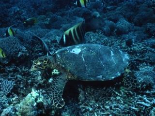 Hawksbill turtle & Sixband angelfish-Sipadan Island