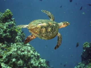 Hawksbill turtle by pinnacle-Saba