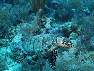 Hawksbill turtle (dig)-Grand Turk