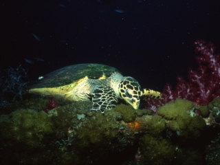 Hawksbill turtle feeding-Coral Sea, Australia