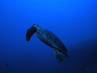 Hawksbill turtle heading up-Saba