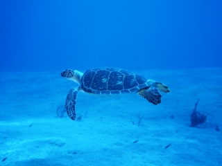 Hawksbill turtle over sand-Saba