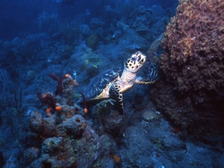 Hawksbill turtle peeking up-Saba