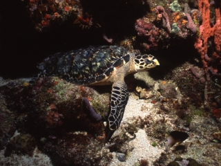 Hawksbill turtle resting-Bequia