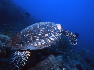 Hawksbill turtle swimming away-Saba