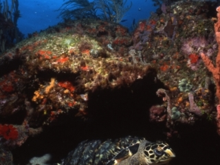 Hawksbill turtle under ledge-Bequia