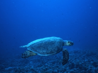 Imbricated turtle-Red Sea