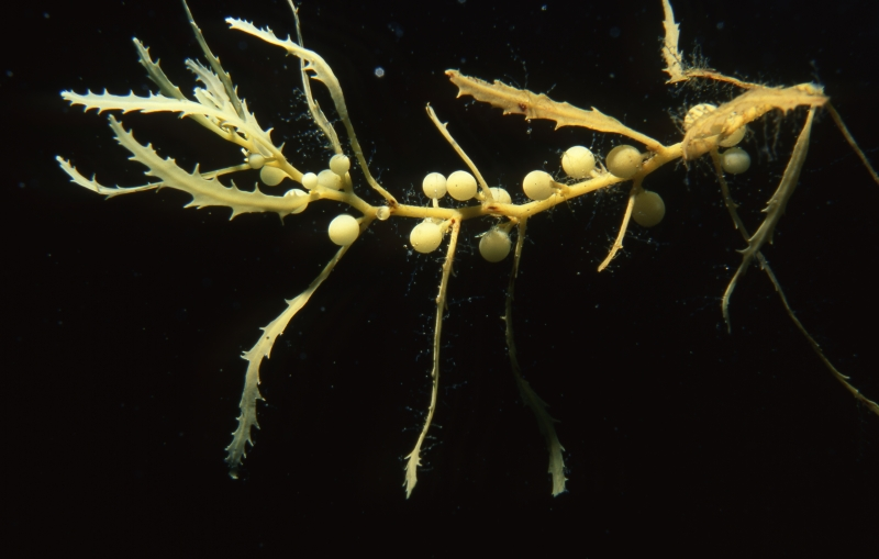 Sargassum weed (brown algae)-British Virgin Islands