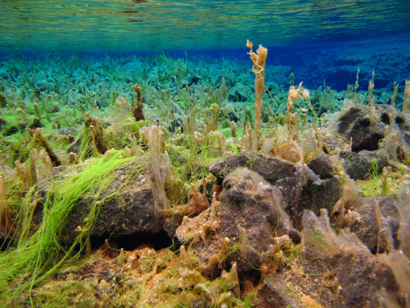 Sifra algae, Thingvellir 5 (dig)-Iceland