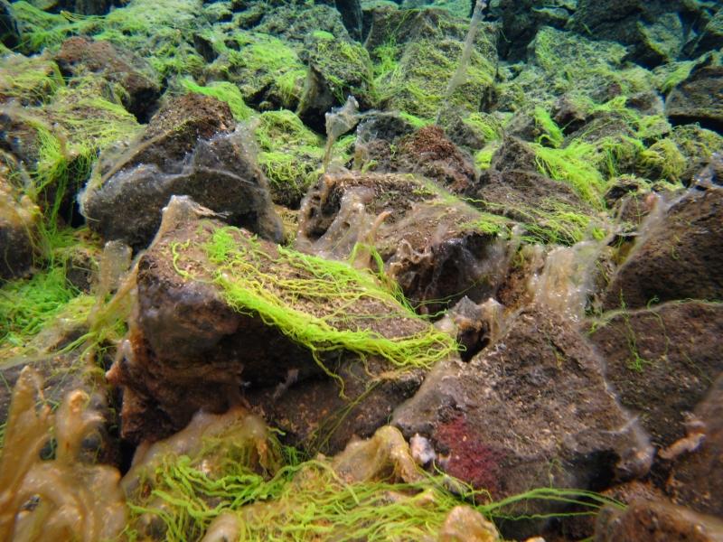 Sifra algae, Thingvellir 8 (dig)-Iceland