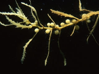 Sargassum weed (brown algae)-British Virgin Islands