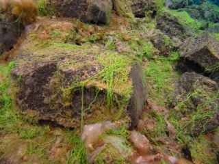 Sifra algae, Thingvellir 2 (dig)-Iceland