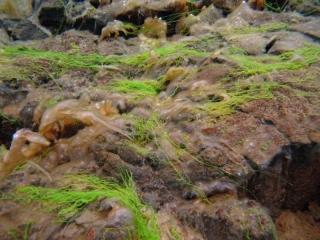 Sifra algae, Thingvellir 7 (dig)-Iceland