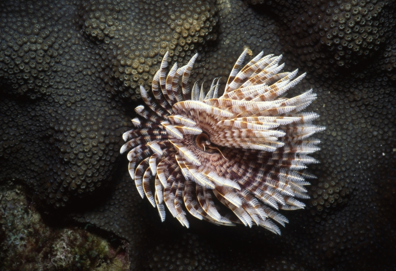 Magnificent banded fanworm-Grenada