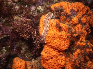 03 Bearded fireworm on sponge-Dominica