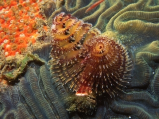 Christmas tree worm on Brain coral-Grenada