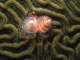 Christmas tree worm on Brain coral-Guadeloupe