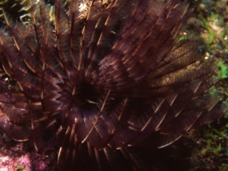 Social feather duster worm-Guadeloupe