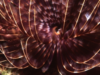 Social feather duster worm interior of tentacles-Guadeloupe