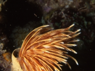 Social feather duster worm tentacles retracting-Grenada