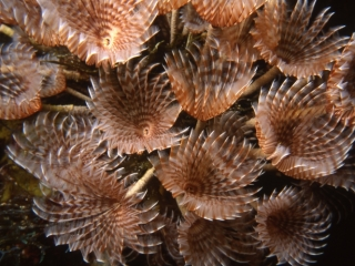 Social feather duster worms-Belize