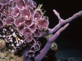 Violet social feather duster worms-Exumas, Bahamas